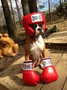 2.Boxer Ronny.